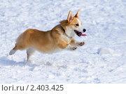 Купить «Собака породы вельш корги пемброк бежит по снегу», фото № 2403425, снято 13 марта 2011 г. (c) Сергей Лаврентьев / Фотобанк Лори