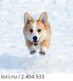 Купить «Собака породы вельш корги пемброк бежит по снегу», фото № 2404933, снято 13 марта 2011 г. (c) Сергей Лаврентьев / Фотобанк Лори