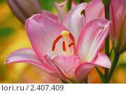 Купить «Розовая лилия (Lilium)», эксклюзивное фото № 2407409, снято 20 июля 2009 г. (c) Алёшина Оксана / Фотобанк Лори