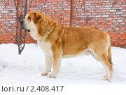 Купить «Собака породы испанский мастиф», фото № 2408417, снято 15 марта 2011 г. (c) Сергей Лаврентьев / Фотобанк Лори