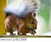 Белка ест орехи. Стоковое фото, фотограф Александр Жильцов / Фотобанк Лори