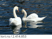 Купить «Лебединая пара», фото № 2414853, снято 4 августа 2009 г. (c) Маргарита Герм / Фотобанк Лори