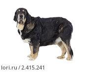Купить «Собака породы испанский мастиф», фото № 2415241, снято 15 марта 2011 г. (c) Сергей Лаврентьев / Фотобанк Лори