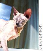 Лысая кошка. Стоковое фото, фотограф Яна Леденева / Фотобанк Лори