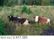 Коровы отдыхают на зорьке. Стоковое фото, фотограф Alexey D. / Фотобанк Лори