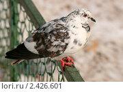Купить «Пестрый голубь сидит на зеленой ограде», эксклюзивное фото № 2426601, снято 13 марта 2011 г. (c) Щеголева Ольга / Фотобанк Лори