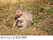 Кормящая обезьяна. Стоковое фото, фотограф Александр Гавриченко / Фотобанк Лори