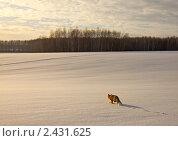 Лиса идет домой. Стоковое фото, фотограф Владимир Любимов / Фотобанк Лори