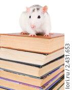 Купить «Белая крыса на стопке книг», фото № 2431653, снято 27 марта 2011 г. (c) паша семенов / Фотобанк Лори
