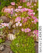 Розовые цветы. Стоковое фото, фотограф Евдокимова Ольга / Фотобанк Лори