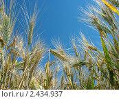 Купить «Колосья третикале на фоне неба», фото № 2434937, снято 2 июля 2007 г. (c) Петрова Ольга / Фотобанк Лори