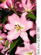 Купить «Крупным планом цветы лилии», фото № 2437181, снято 13 мая 2010 г. (c) Арсений Герасименко / Фотобанк Лори
