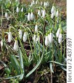 Купить «Белые подснежники», фото № 2437697, снято 26 марта 2011 г. (c) Юлия Подгорная / Фотобанк Лори