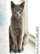 Купить «Кот на окне», фото № 2440433, снято 4 января 2010 г. (c) Люсьена Шум / Фотобанк Лори