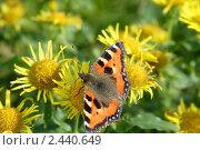 Купить «Бабочка крапивница на цветке девясила», фото № 2440649, снято 5 сентября 2010 г. (c) Ольга Остроухова / Фотобанк Лори