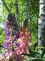 Люпины, красиво подсвеченные солнцем, фото № 2442893, снято 3 июня 2007 г. (c) Петрова Ольга / Фотобанк Лори