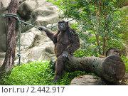 Шимпанзе. Стоковое фото, фотограф Роман Богдановский / Фотобанк Лори