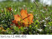 Купить «Осенний кленовый лист», фото № 2446493, снято 8 октября 2009 г. (c) Наталья Саратова / Фотобанк Лори