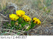 Купить «Адонис весенний», фото № 2449857, снято 10 апреля 2010 г. (c) Сергей Соболев / Фотобанк Лори