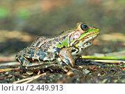 Купить «Озерная лягушка», фото № 2449913, снято 2 сентября 2006 г. (c) Сергей Соболев / Фотобанк Лори