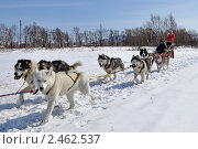 Купить «Женщина-каюр управляет собачьей упряжкой», фото № 2462537, снято 10 апреля 2010 г. (c) Владимир Карпов / Фотобанк Лори