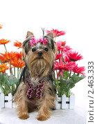Купить «Щенок йоркширского терьера и цветы», фото № 2463333, снято 9 апреля 2011 г. (c) Ирина Игумнова / Фотобанк Лори