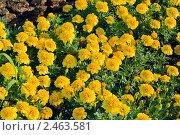 Яркие цветы на клумбе. Стоковое фото, фотограф Валентин Олейников / Фотобанк Лори