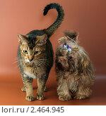Купить «Кот и цветная болонка», фото № 2464945, снято 14 февраля 2011 г. (c) Vladimir Suponev / Фотобанк Лори