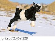 Купить «Маленький козленок», фото № 2469229, снято 3 марта 2011 г. (c) Титаренко Елена / Фотобанк Лори