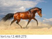 Купить «Гнедая лошадь скачет в поле на свободе», фото № 2469273, снято 12 августа 2010 г. (c) Титаренко Елена / Фотобанк Лори