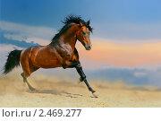 Купить «Гнедая лошадь скачет в поле на свободе», фото № 2469277, снято 12 августа 2010 г. (c) Титаренко Елена / Фотобанк Лори