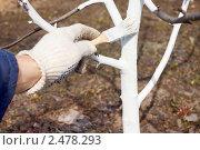 Купить «Побелка ствола яблони ранней весной», фото № 2478293, снято 17 апреля 2011 г. (c) Александр Романов / Фотобанк Лори
