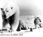 Купить «Белые медведи. Семья.», фото № 2494105, снято 6 апреля 2020 г. (c) Сергей Лешков / Фотобанк Лори