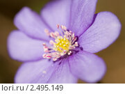 Купить «Печеночница», фото № 2495149, снято 20 апреля 2011 г. (c) Наталья Волкова / Фотобанк Лори