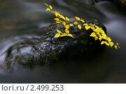 Краски осени: веточка березы на камне в ручье. Стоковое фото, фотограф Dmitry S. Marshavin / Фотобанк Лори