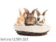Купить «Три молодых кролика в корзине», фото № 2501321, снято 12 декабря 2018 г. (c) Дмитрий Калиновский / Фотобанк Лори