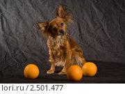 Рыжий русский той-терьер с апельсинами. Стоковое фото, фотограф Dmitry S. Marshavin / Фотобанк Лори