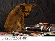 Русский той-терьер с журналами на черном фоне (2011 год). Редакционное фото, фотограф Dmitry S. Marshavin / Фотобанк Лори