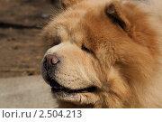 Купить «Портрет чау-чау», эксклюзивное фото № 2504213, снято 23 апреля 2011 г. (c) Валерия Попова / Фотобанк Лори