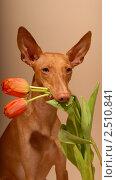 Чирнеко Дель Этна, портрет с тюльпанами. Стоковое фото, фотограф Агибалова Кристина / Фотобанк Лори