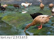 Красивая утка пьющая из ручья. Стоковое фото, фотограф Ольга Дудина / Фотобанк Лори