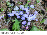 Купить «Цветущий кустик печеночницы с голубыми цветами (Hepatica nobilis)», фото № 2514729, снято 5 мая 2011 г. (c) Дядченко Ольга / Фотобанк Лори