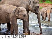 Купить «Стадо диких индийских слонов переходит реку», фото № 2518597, снято 4 августа 2009 г. (c) Алексей Кузнецов / Фотобанк Лори