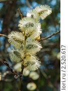 Купить «Цветущая ветка ивы», фото № 2520617, снято 27 апреля 2011 г. (c) Дмитрий Брусков / Фотобанк Лори