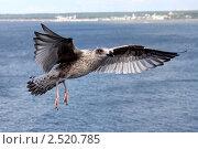 Купить «Буревестник расправил крылья для торможения», фото № 2520785, снято 12 августа 2009 г. (c) Маргарита Герм / Фотобанк Лори