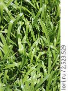 Купить «Зеленая трава. Фон», фото № 2523529, снято 9 мая 2011 г. (c) Галина Бурцева / Фотобанк Лори