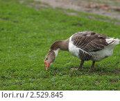 Купить «Гусь щиплет травку», фото № 2529845, снято 12 мая 2011 г. (c) Константин Босов / Фотобанк Лори