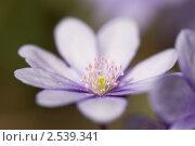 Купить «Печеночница», фото № 2539341, снято 21 апреля 2011 г. (c) Наталья Волкова / Фотобанк Лори