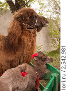 Верблюд с верблюжонком. Стоковое фото, фотограф Игорь Чекаев / Фотобанк Лори