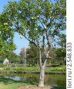 Дерево манго (2007 год). Стоковое фото, фотограф Баранов Александр / Фотобанк Лори